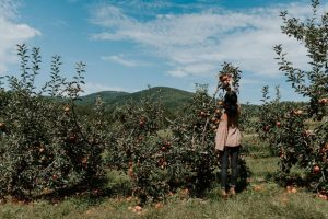 Pick Apples at Aamodt's - Minneapolis Dating Ideas